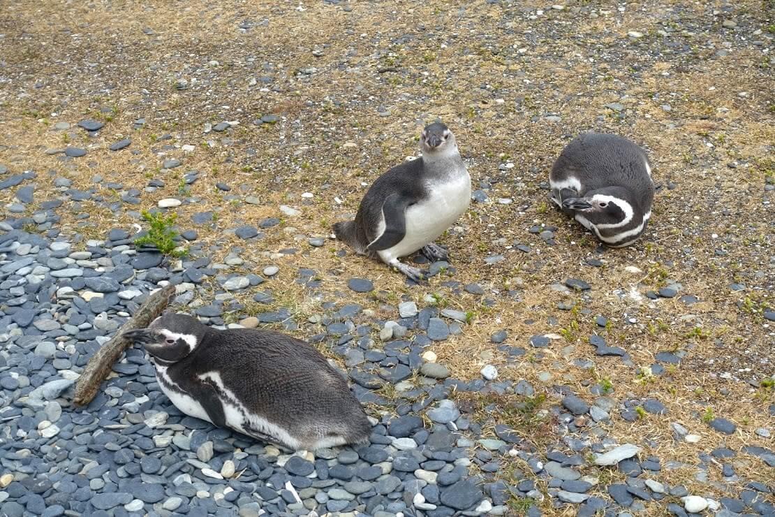 ビーグル水道のマゼラン・ペンギン