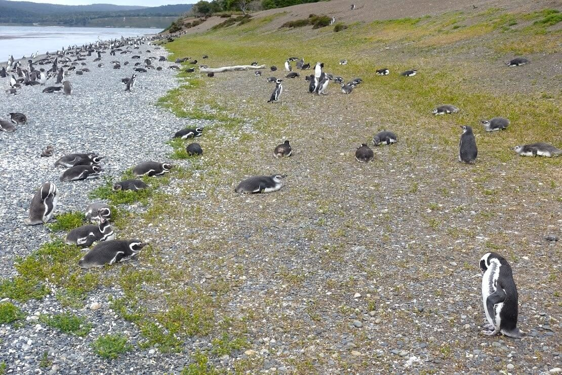 ビーグル水道のペンギン島