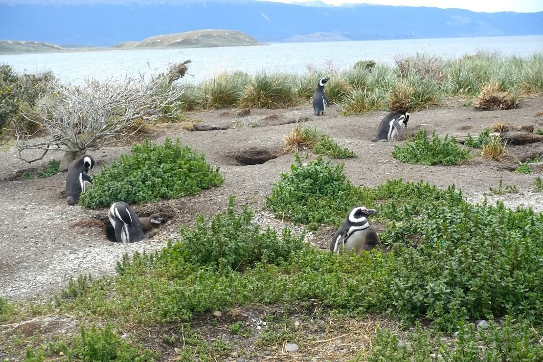 アルゼンチンのペンギン