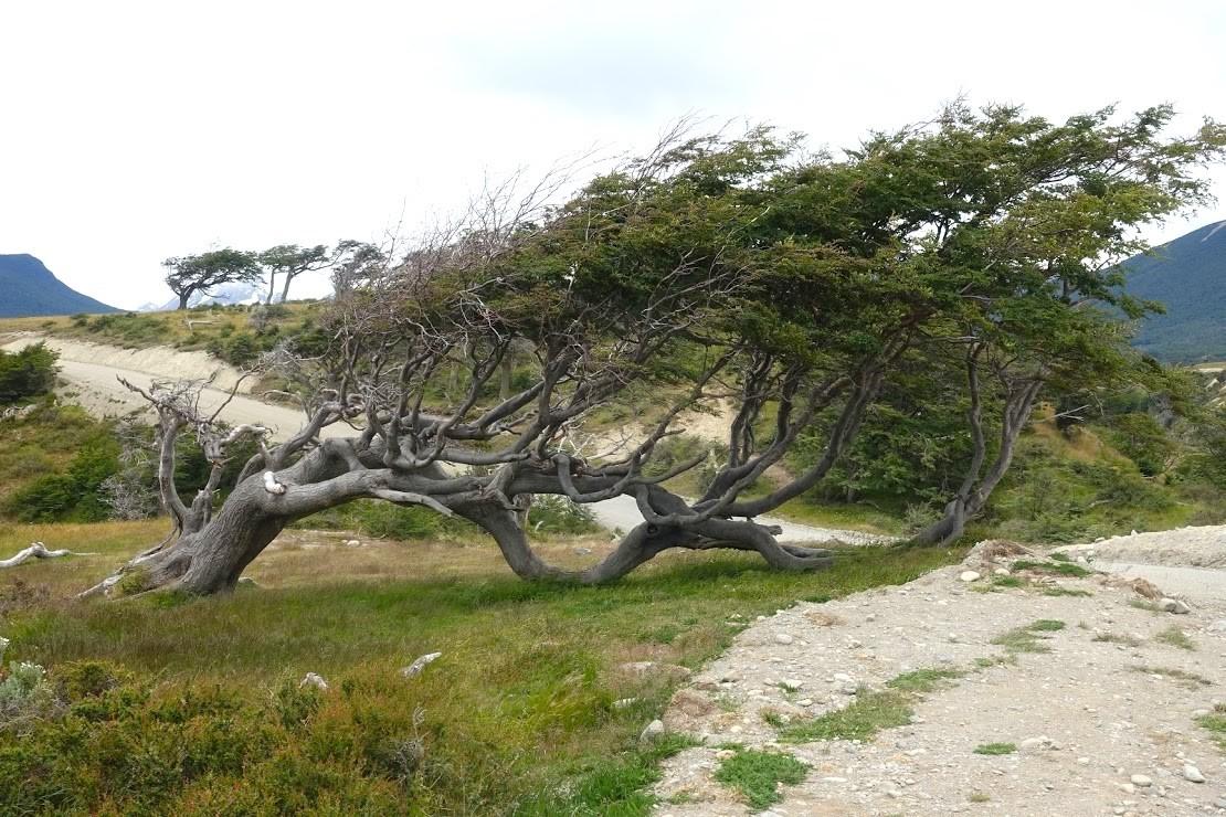 パタゴニアの樹木