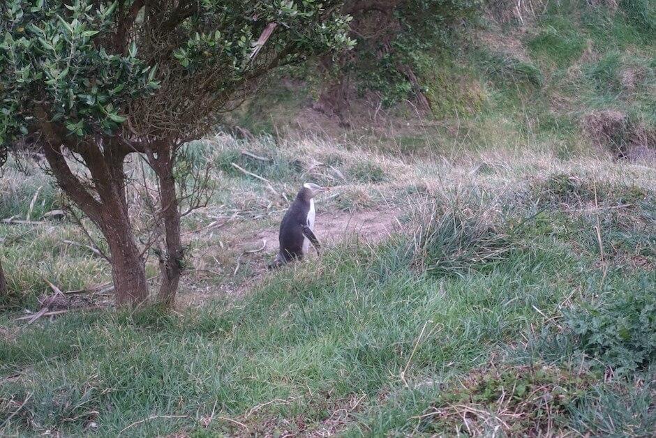 ニュージーランド・オタゴ半島のペンギン
